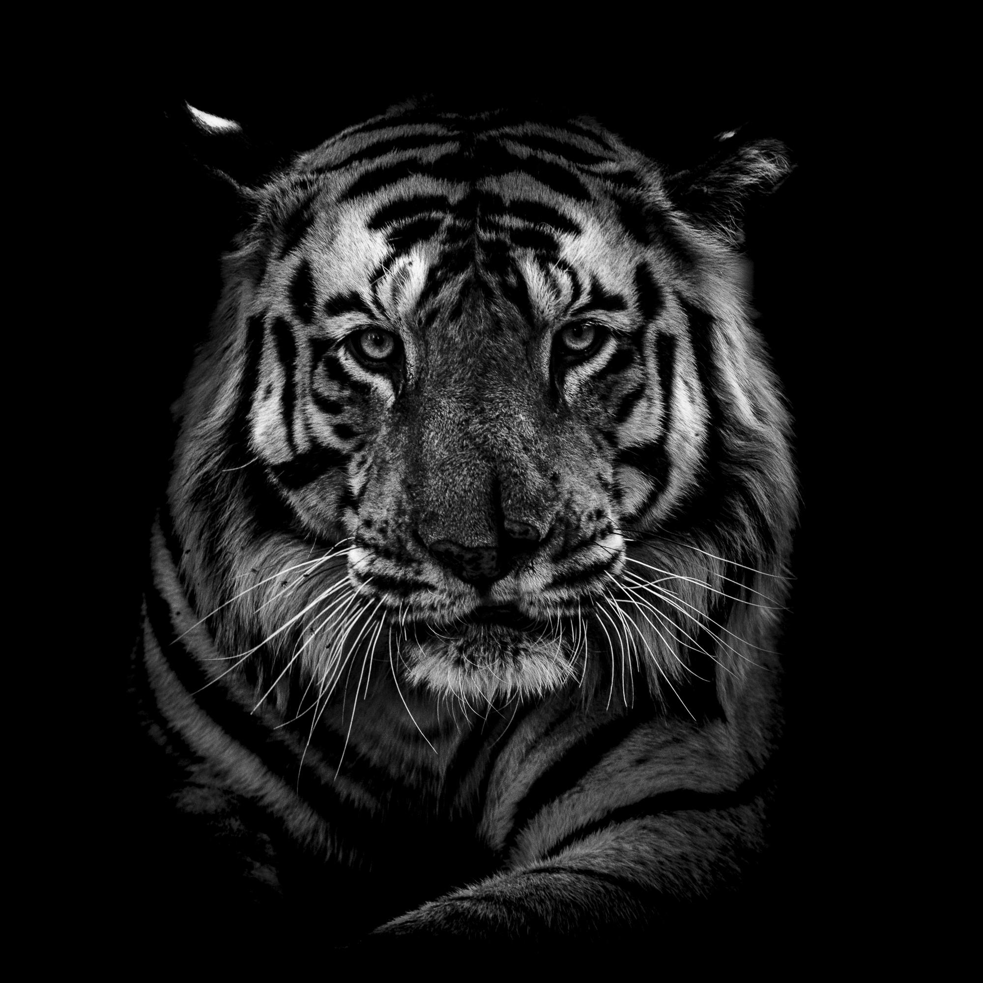 Ankit_Kumar_Tiger_Head.jpg