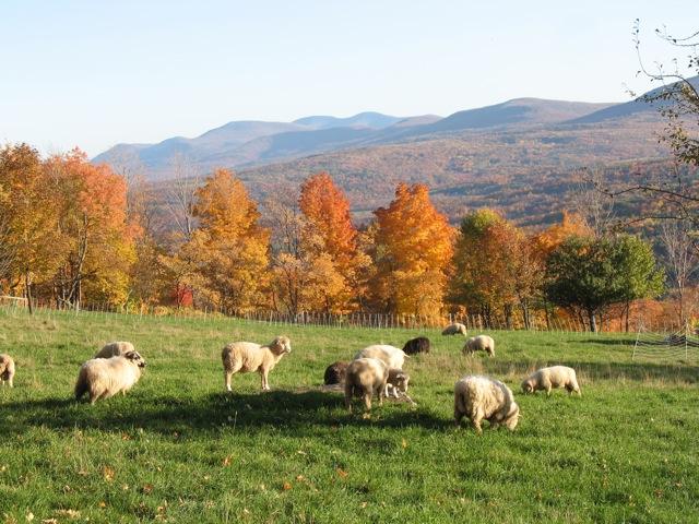 scenic sheep.jpg