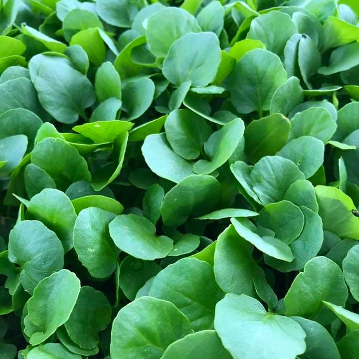 Cress - As part of the mustard family, cress shares the same strong, tangy flavour.Delicious in a soup, salad, sandwich or risotto, this is a leaf that brings a dash of spice to the table.