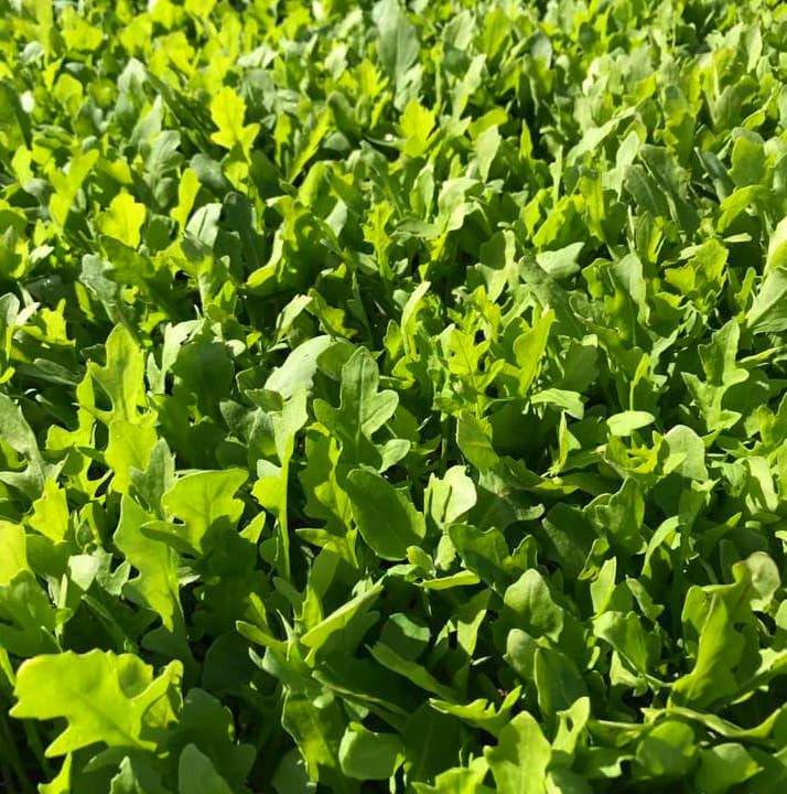 Wild Rocket - Tangy and peppery with a bit of a kick, Lockwood's rocket leaves are bursting with flavour and bite.Thrown into pasta or tossed onto a steak with shreds of parmesan, this leaf adds a green punch to any dish.