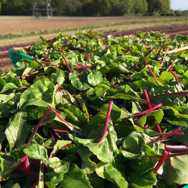 red Chard - Sweet, crisp and crunchy, red chard is a nutritional powerhouse, delicious raw or cooked.