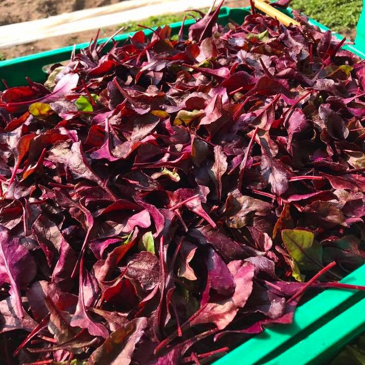 Bulls Blood - Bursting with colour, bulls blood is mild, fresh and nutty in flavour.This superfood is an ideal garnish to any salad bowl.