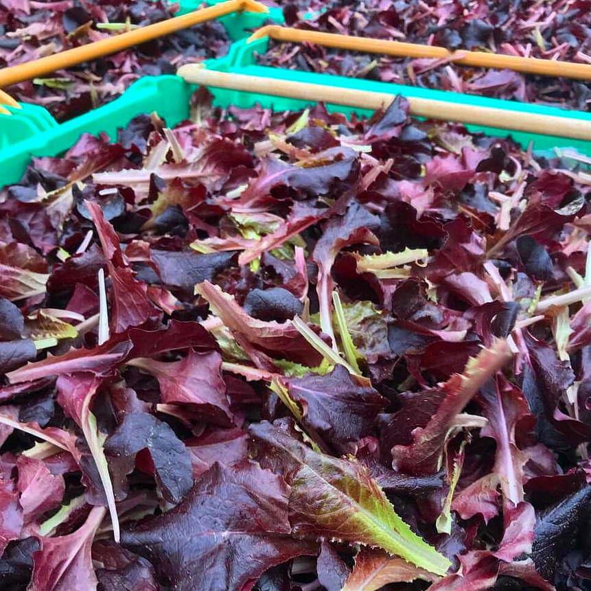 Baby red lettuce - Adding a burst of colour to your bowl, our vibrant leaves of baby red lettuce introduce the delicate flavours of summer to any salad dish.