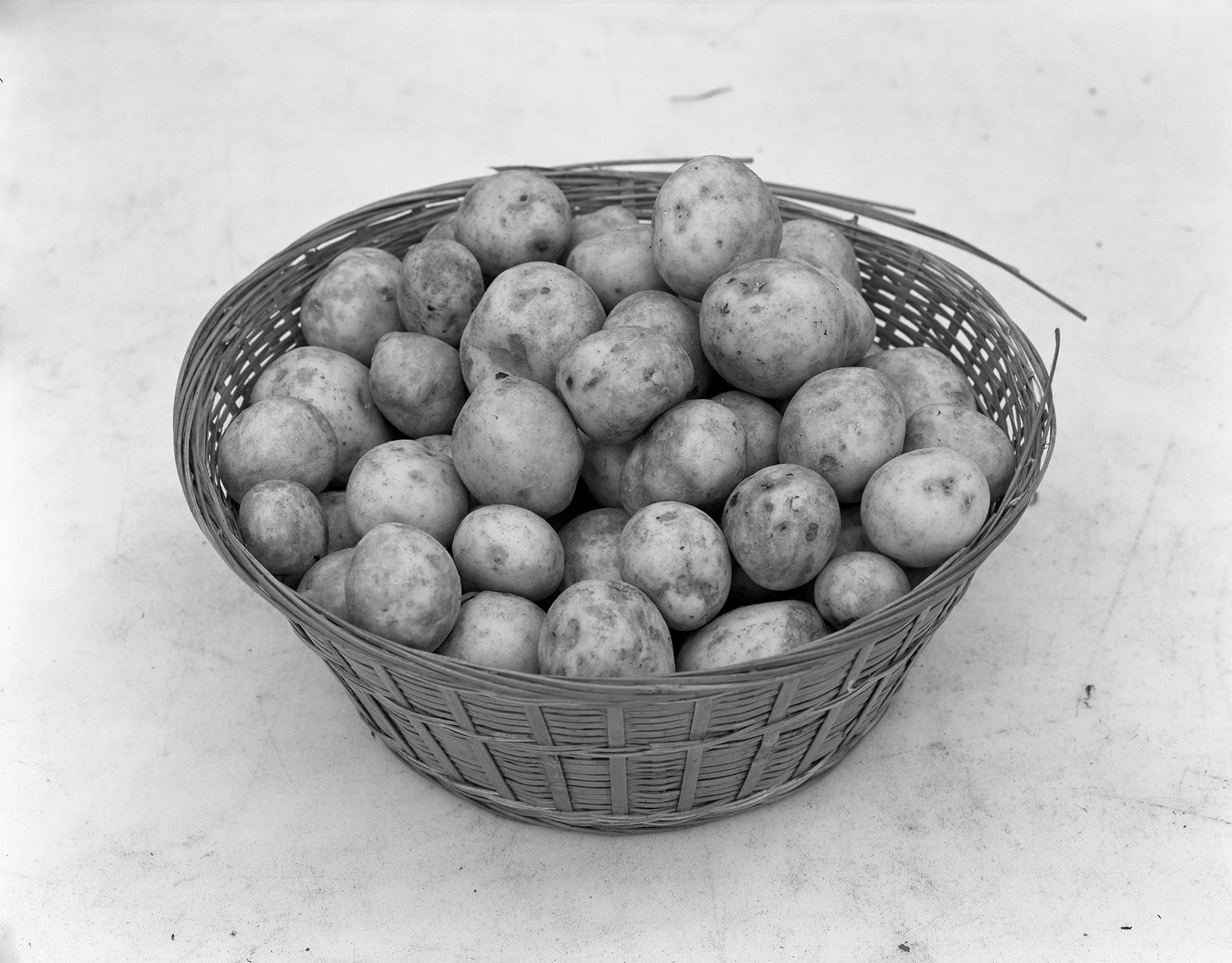 Potatoes (CSA day) 2018