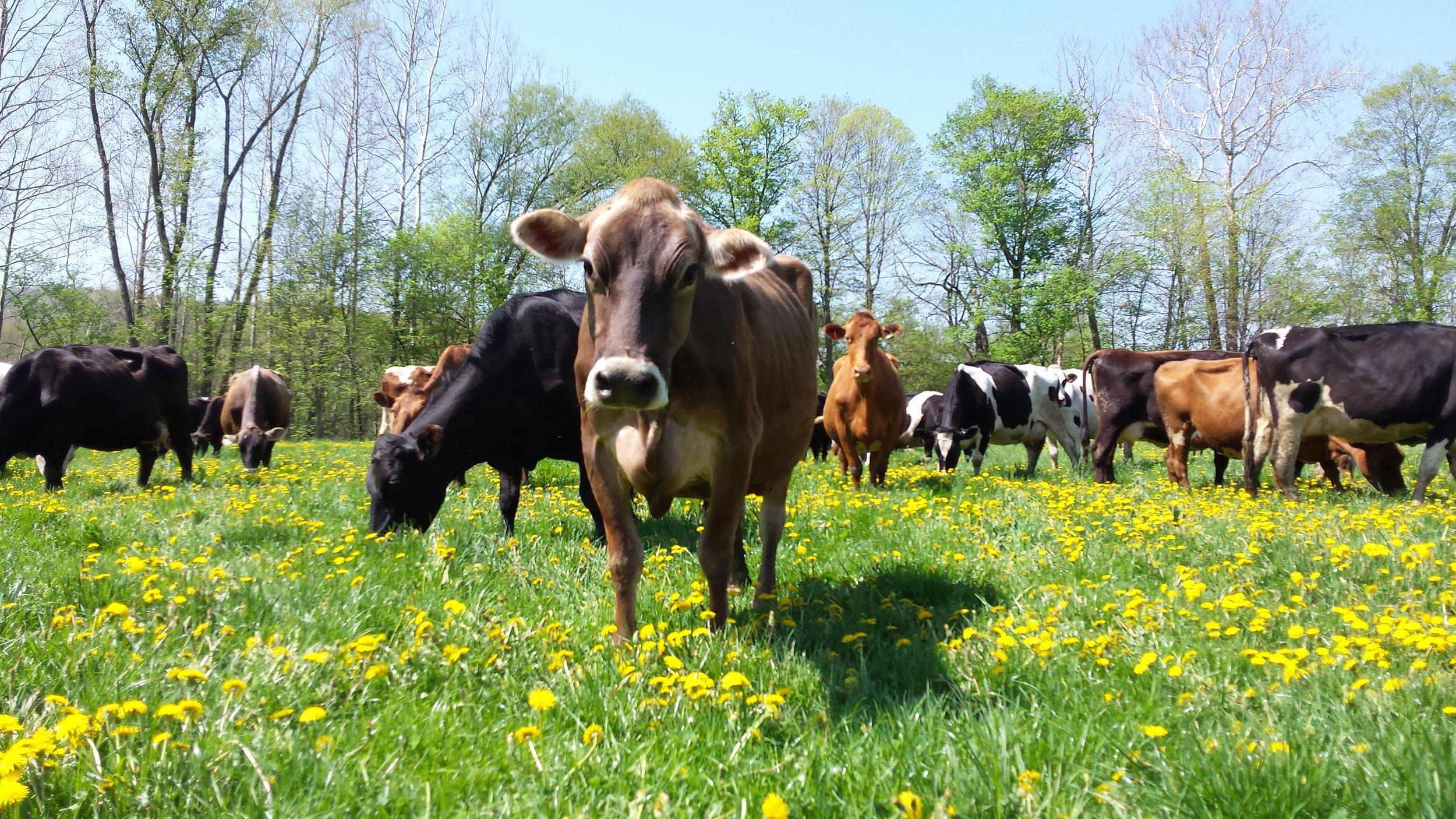 51414 happy cows 3-Engelbert.jpg