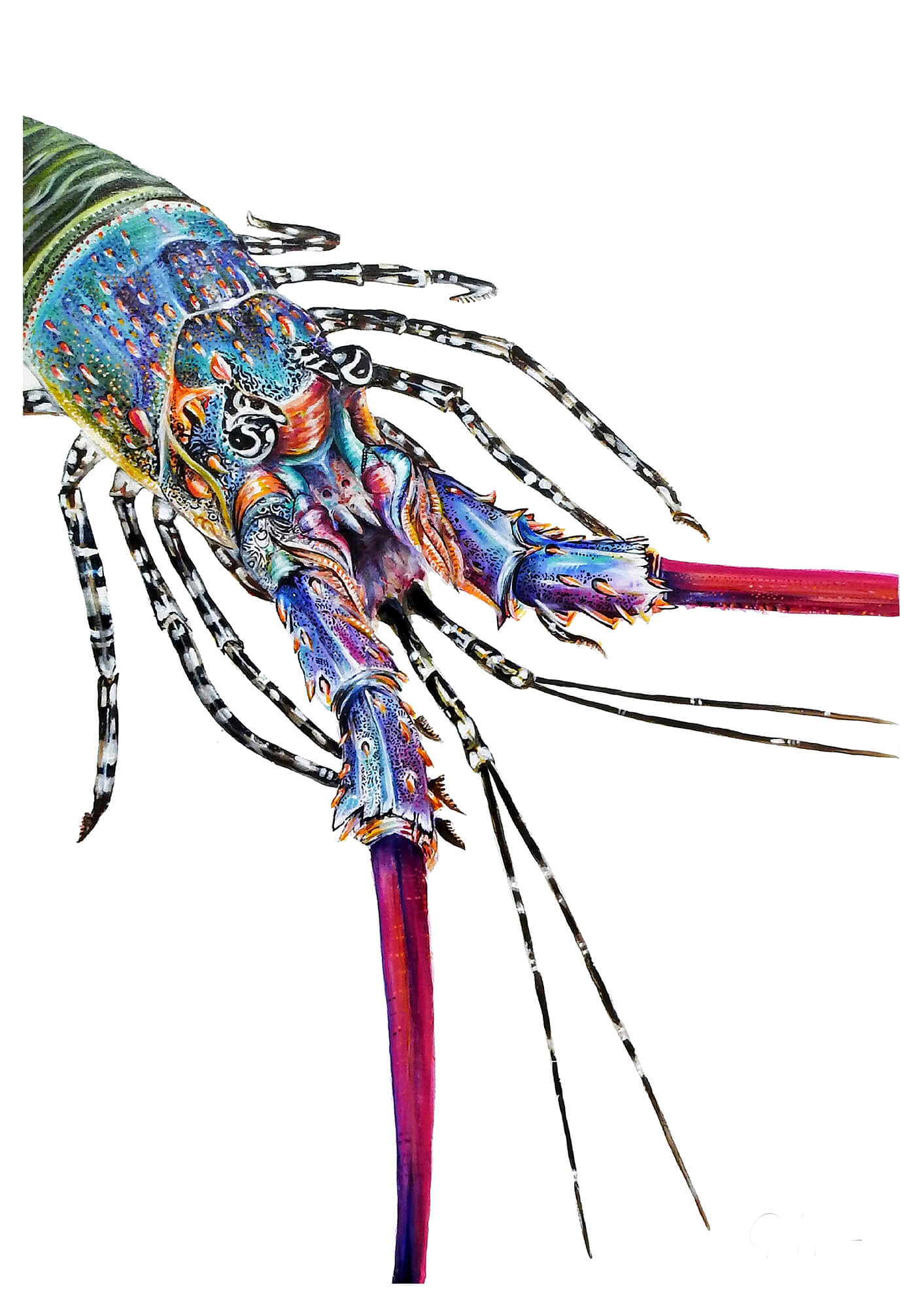 The Painted Crayfish