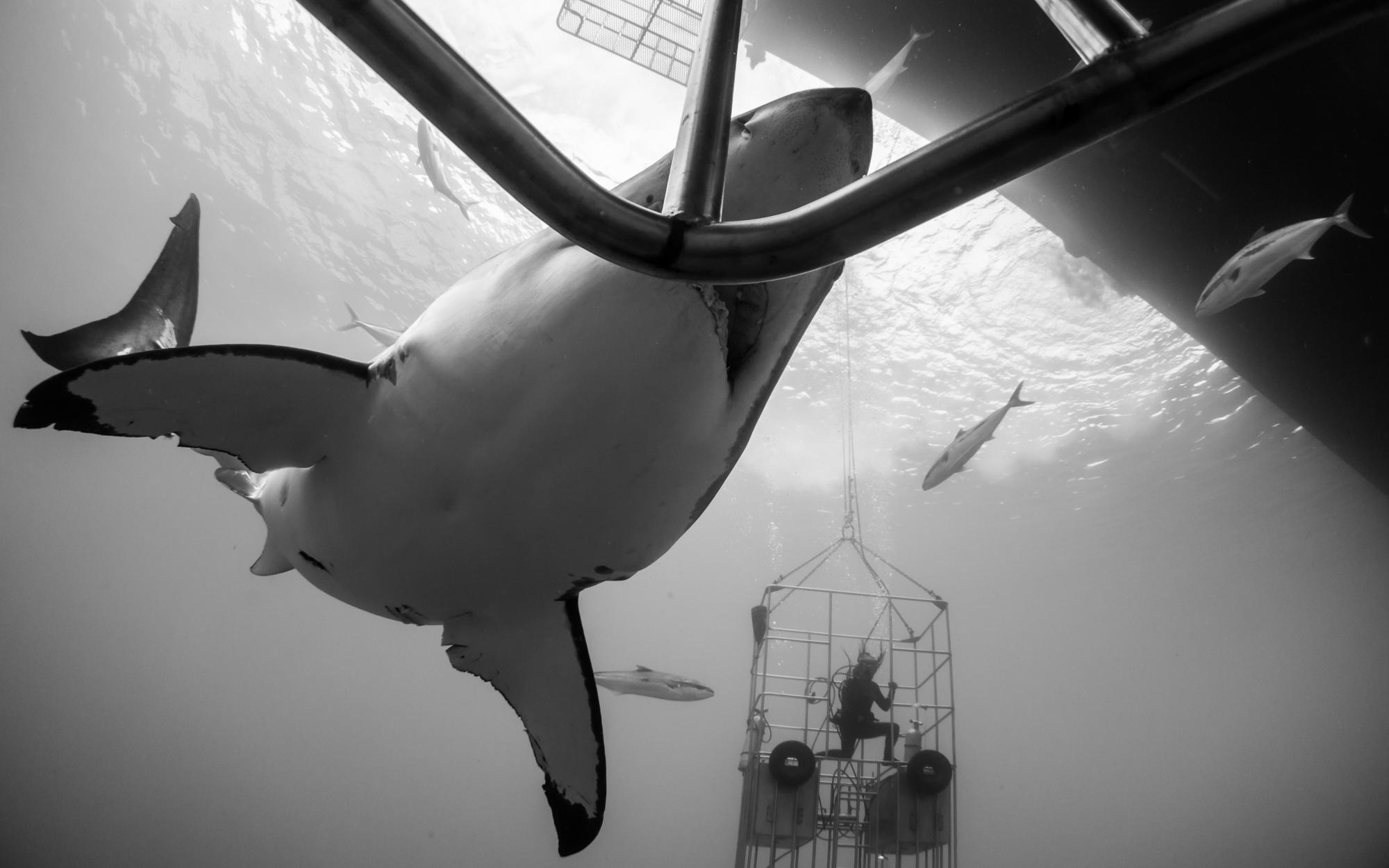Great White Shark Encounter - Isla Guadalupe, Mexico