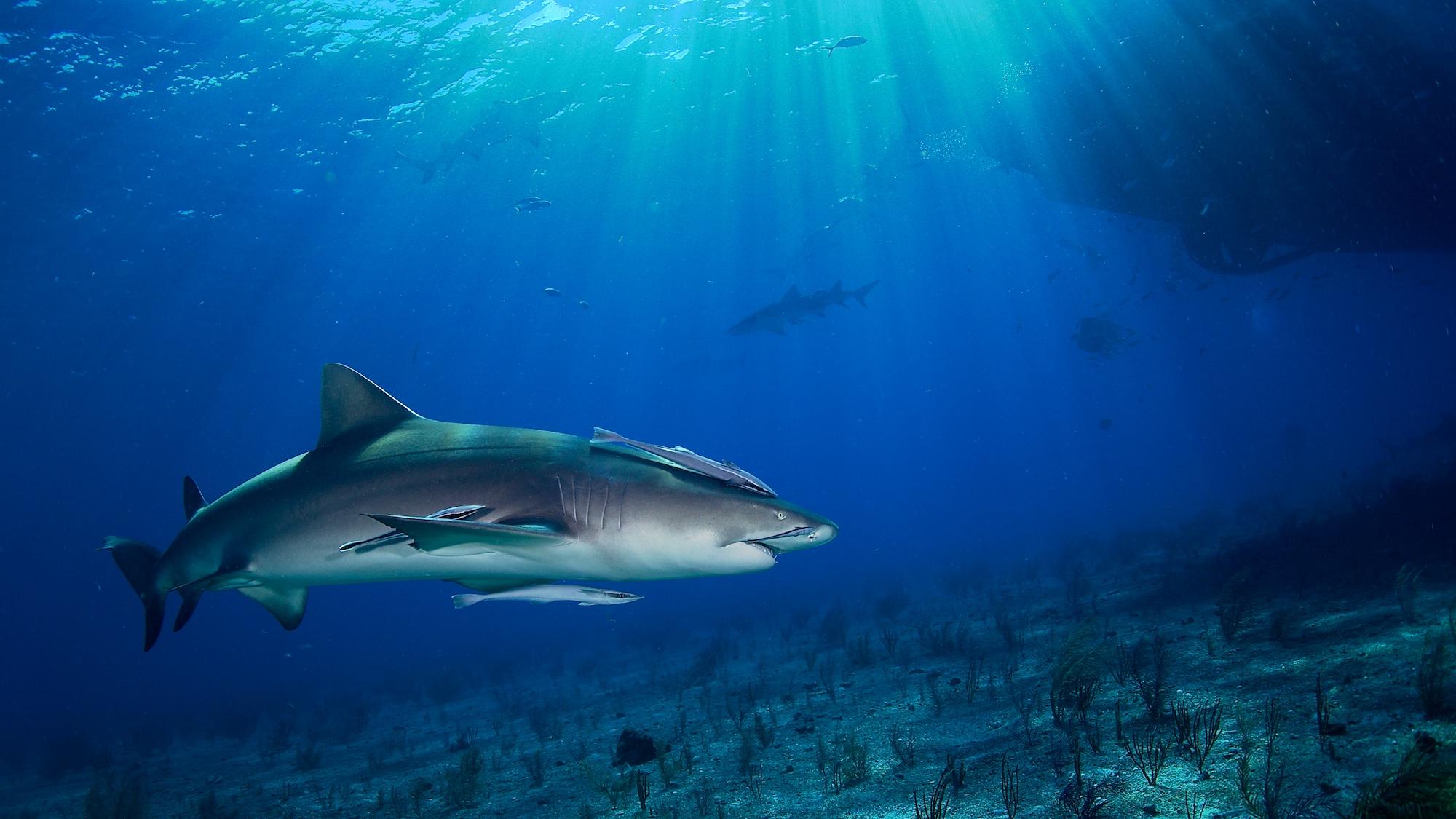 Lemon shark in crepuscular rays of light
