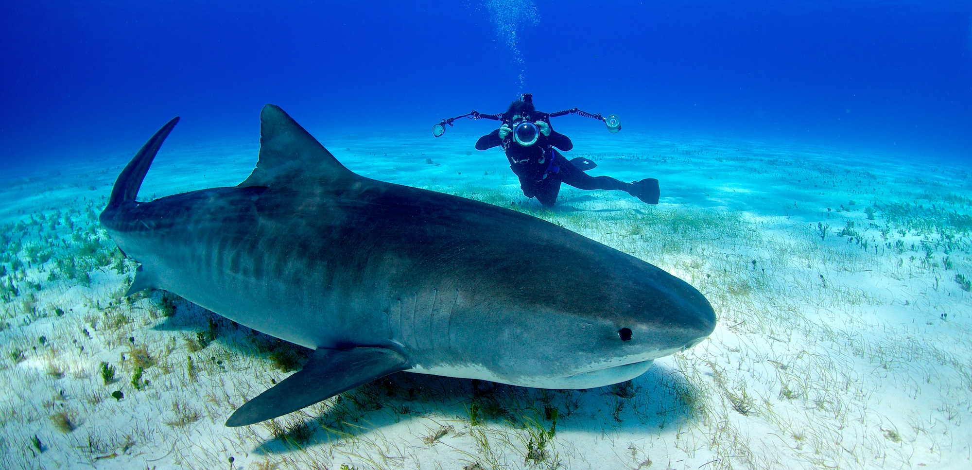 Ryan captures an image of Emma Tiger Shark, the queen of Tiger Beach