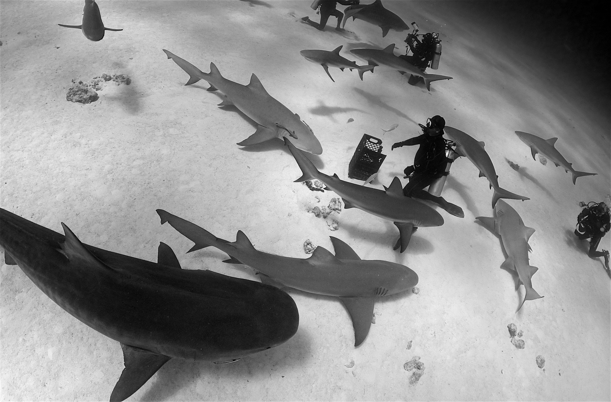 Shark wrangler Eli Martinez in a vortex of tiger, lemon, and Caribbean reef sharks.