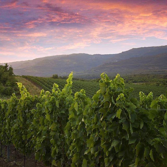 HEUTE - 26/05: Entdecke Kroatiens Weinanbau-Tradition!  Erlebe qualitative Weinsorten sowie viel spannendes rund um das wohl leckerste Genussmittel der Welt am Tag der offenen Weinkeller in Istrien
