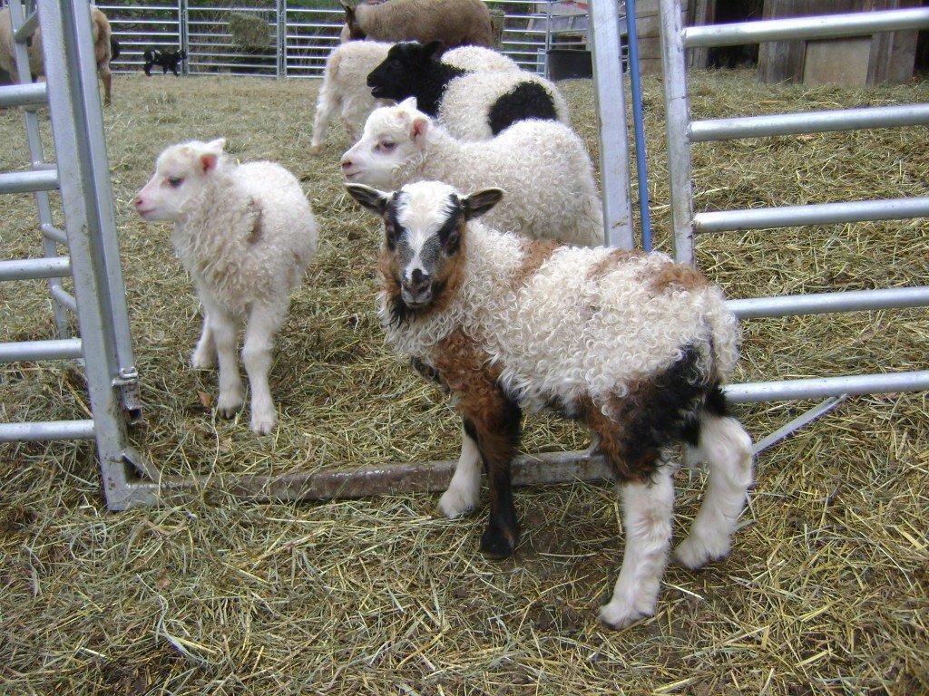 Lambing_2013.jpg