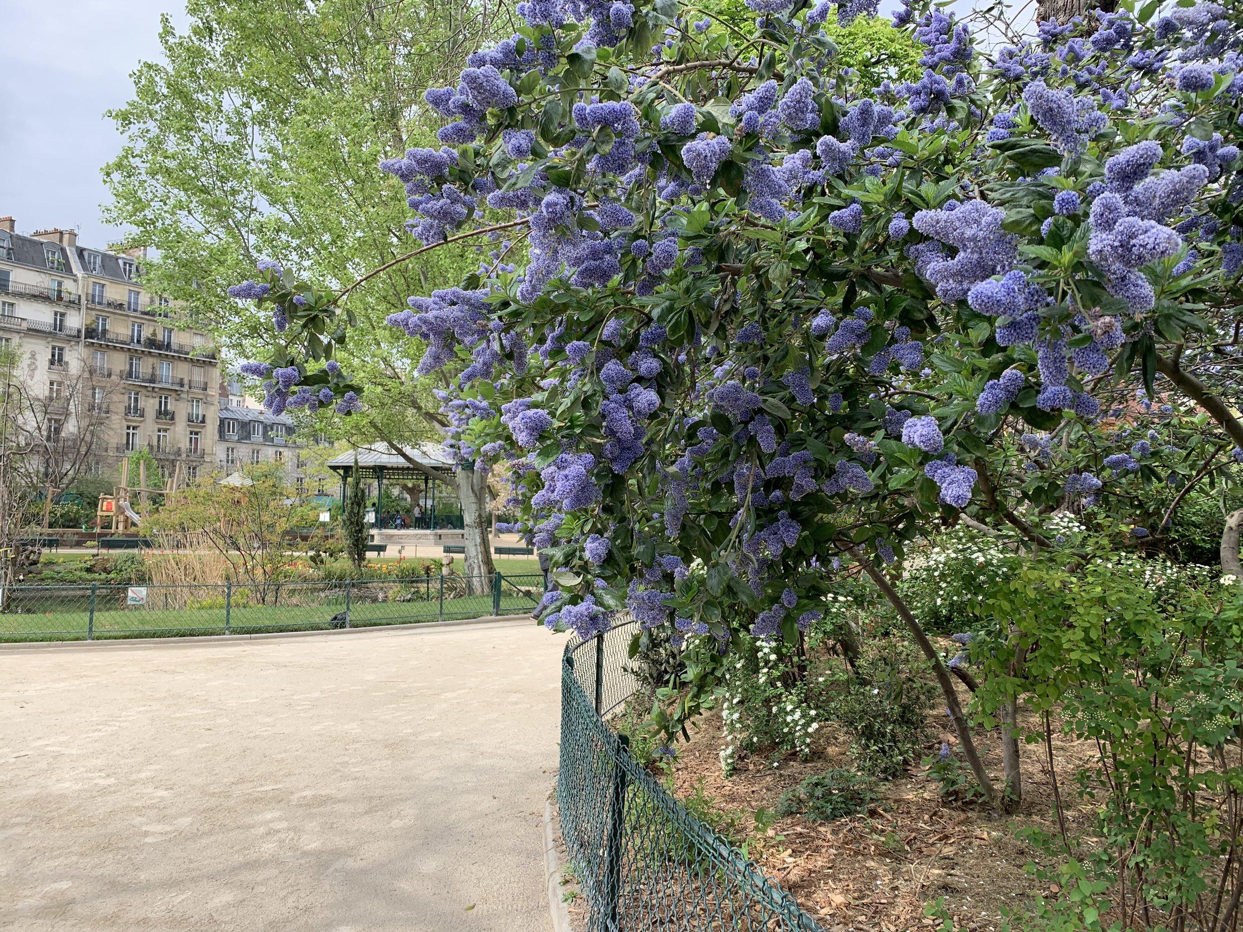 Blue lilacs at the Square du Temple