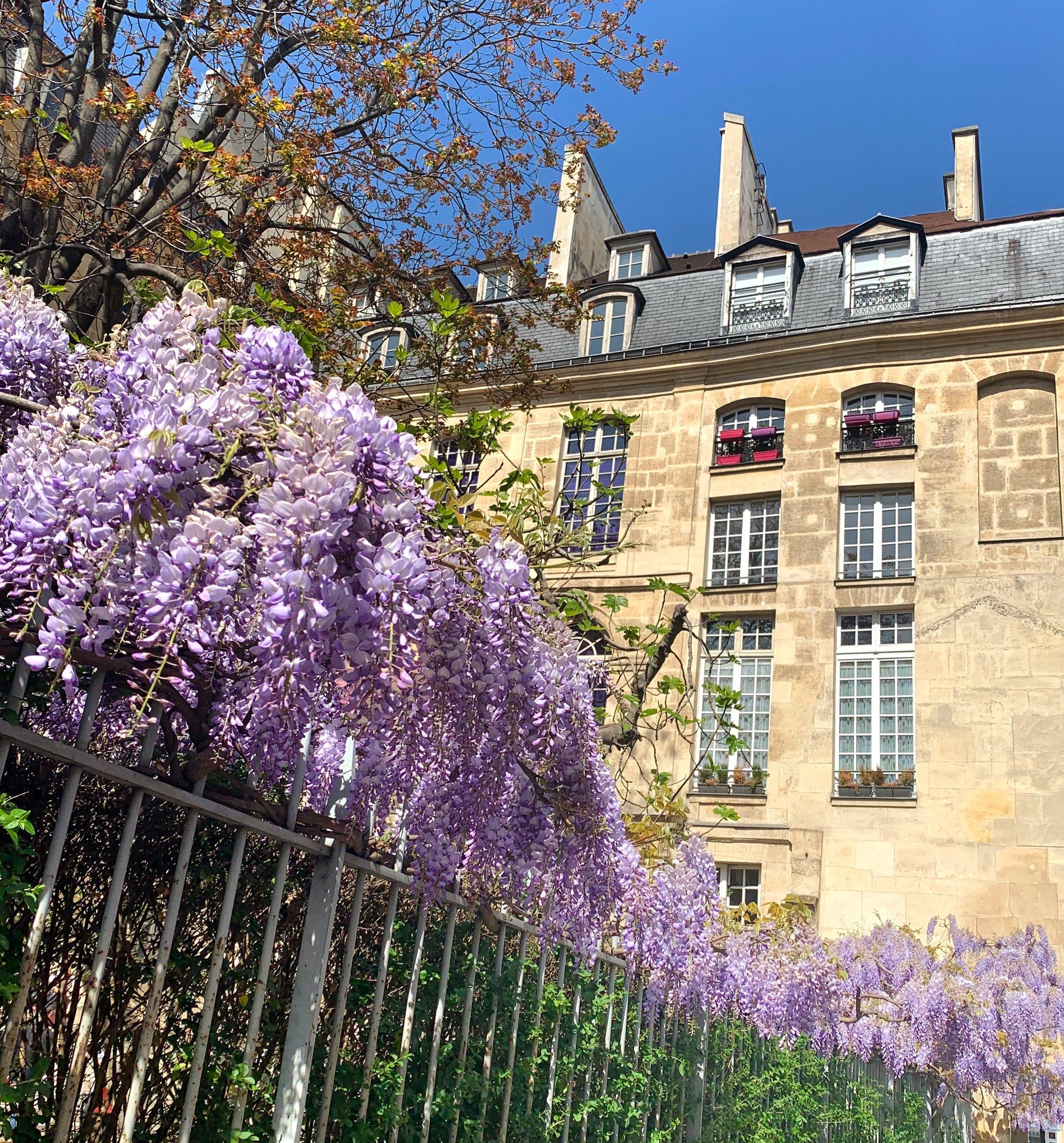 Wisteria in the Marais