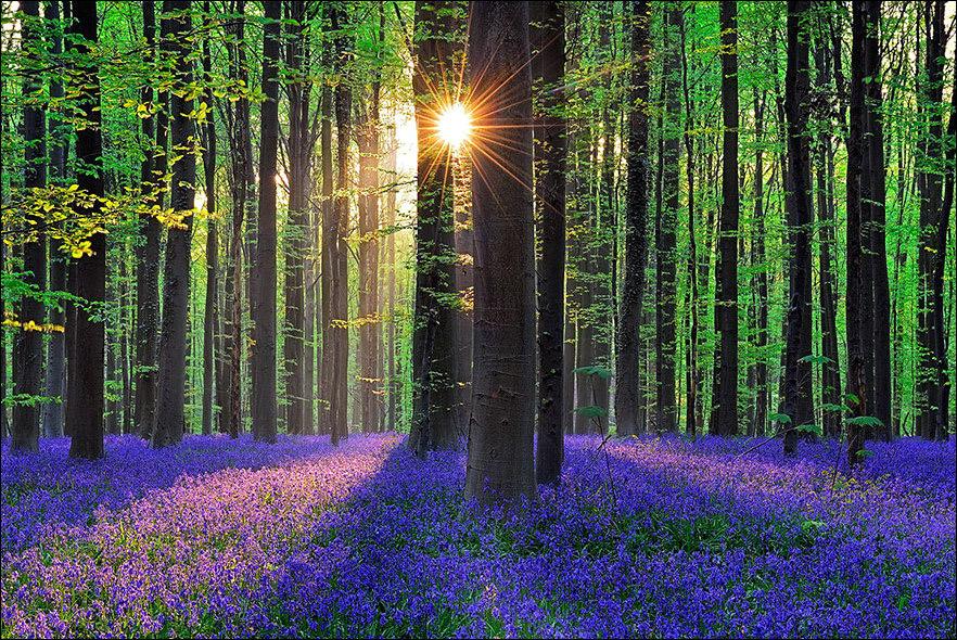 hallerbos-forest_1.jpg