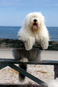 f04ac85f76b72c406af8b5092ca64c9b-old-english-sheep-dog-beach-hair-copy-200x300.jpg