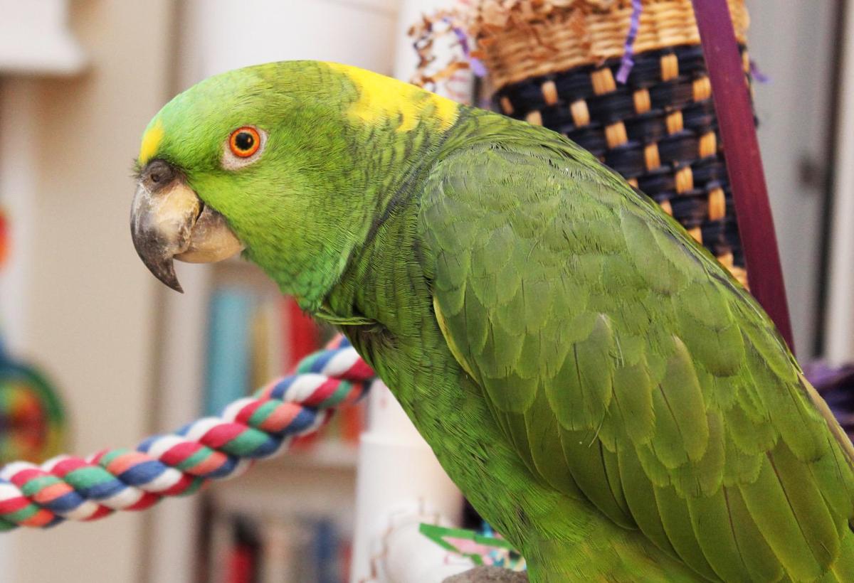 Parrot Leonardo.jpg