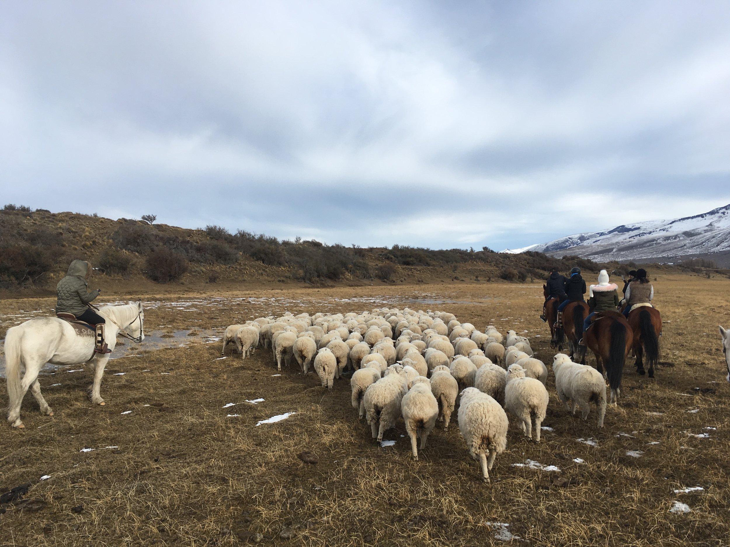 Herding Sheep in Argentina