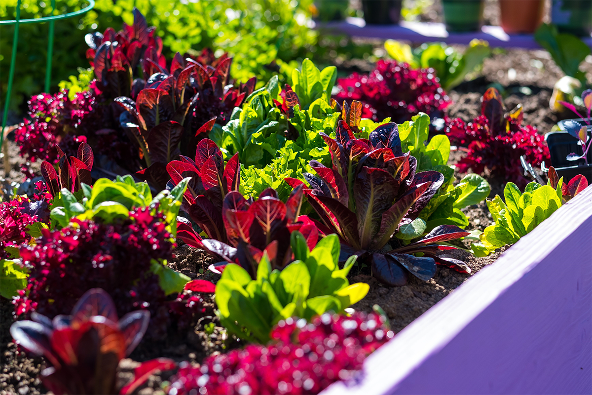 Fremont purple garden bed.png