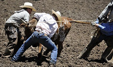 Cowboys ropping steer