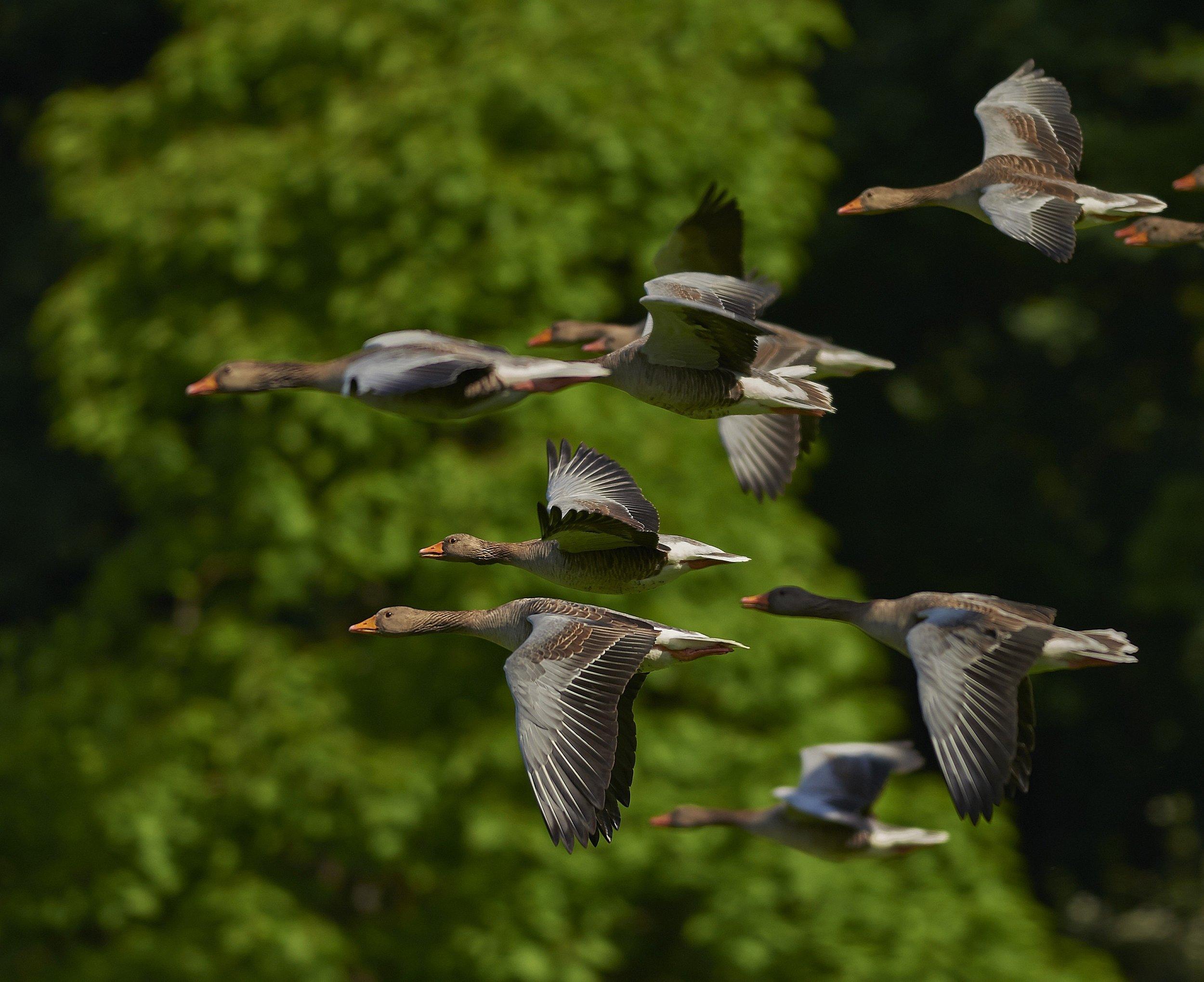 animals-birds-flock-55832 (1).jpg