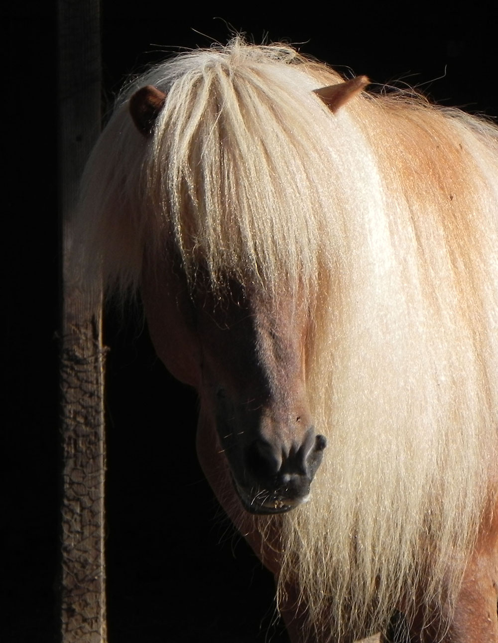Glamour shot of Gloi, an Icelandic horse.