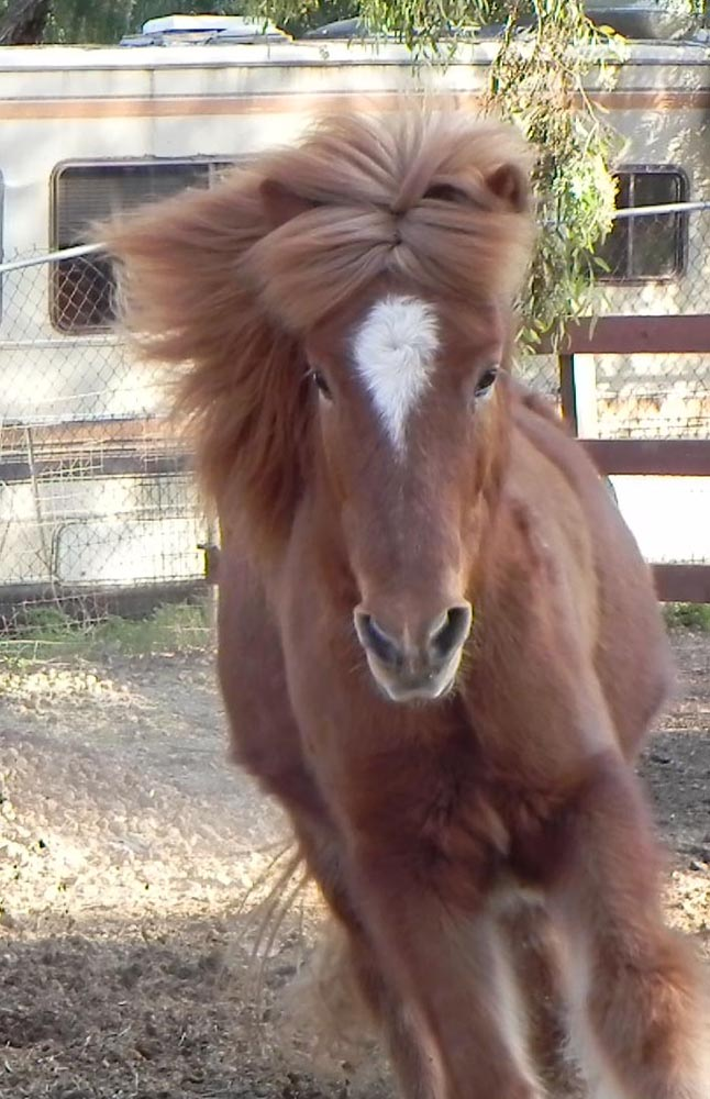 Star is an Icelandic horse. Here he is showing off his good looks.
