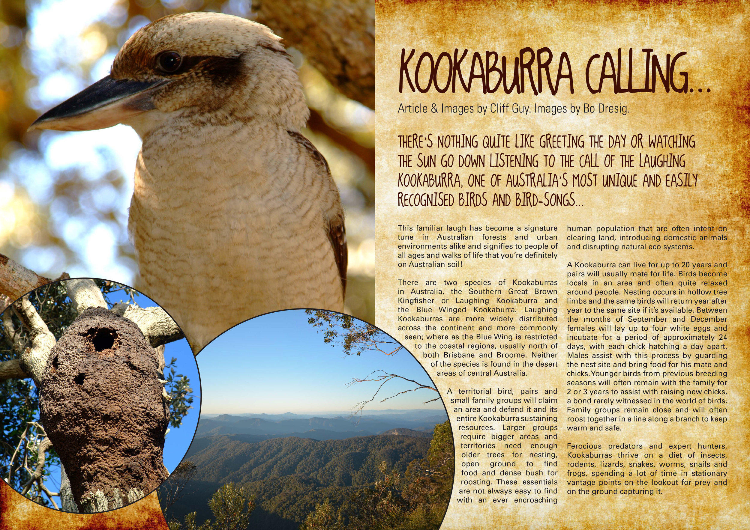 KookaburraCalling-1.jpg