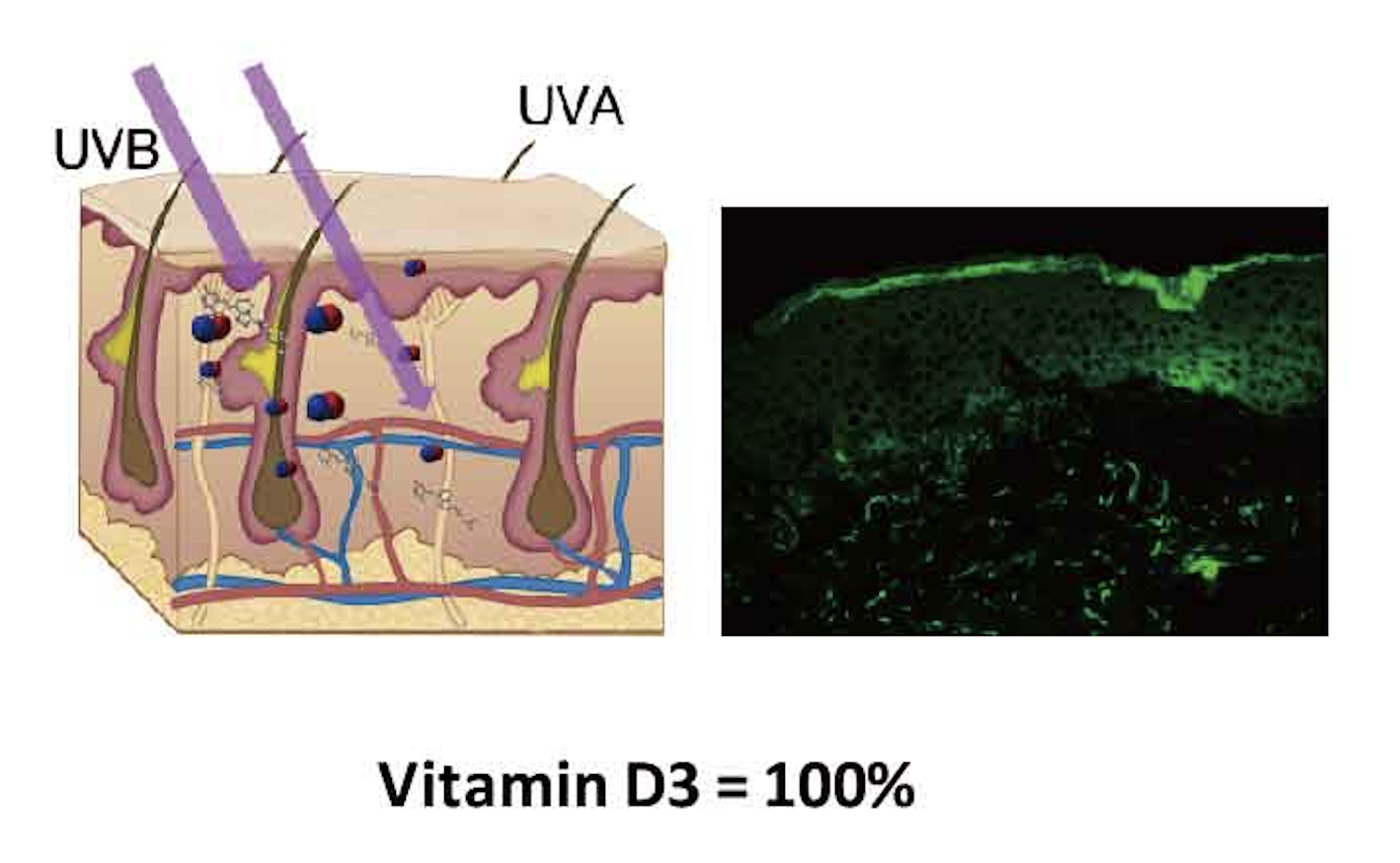 Under normal circumstances UV radiation interacts with the skin to produce Vitamin D3 and Nitric Oxide. UV-B is responsible for the formation of Vitamin D3 and UV-A for the production of Nitric Oxide shown in Green above.