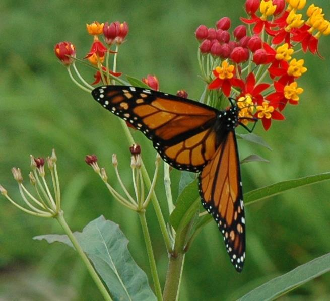 Monarch.Loring.jpg