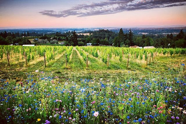 """Sure am looking forward to these warm summer time views from the Chehalem Mountains! ・・・ Repost @bellsupwinery: Did you know @wine_4_food says we have one of the Best Views in Oregon Wine Country? Here's what @satiatepdx wrote about it: """"Perched on the slope of Chehalem Mountain, Bells Up features a spectacular 270-degree view of the surrounding area. It also overlooks the quaint little town of Newberg and their estate vineyard, planted to Pinot Noir and theWillamette Valley's first planting of Seyval blanc. An array of Oregon native wildflowers bloom throughout the spring and summer (and sometimes even into the fall!). With private tastings by appointment only, the view is always yours alone to appreciate. . . . . . #chehalemmountainsava #oregonwine #oregonwinecountry #winecountry #chehalemmountains #orwine #oregonvineyards #vineyard #vineyardview #pinot #pinotnoir #oregonpinot #traveloregon #exploreoregon #pnwonderland #upperleft #upperleftusa #wineryview #winery #gowinetasting #wvwines #wvwine #willamette #willamettevalley #wildflowers #newberg #yamhillcounty #yamhill #winestagram🍷"""
