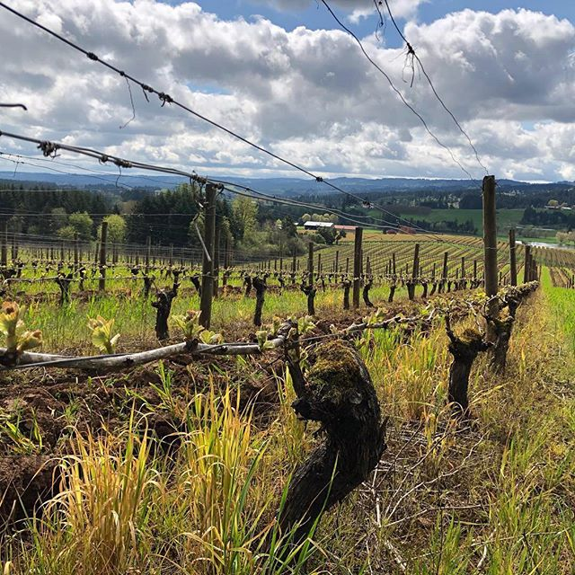 The weather has been absolutely incredible this week across the Willamette Valley! A warm start to the 2019 vintage. ☀️🌱🍇 ・・・ Repost @dionvineyards :  Growing, growing ... #vintage2019 in progress! . . . . . #chehalemmountainsava #wvwines #oldvinepommard #pinotnoir #pinot #oldvine #gowinetasting #oregonpinot #oregonwine #orwine #oregonwinecountry #winecountry #wine #winenerd #winelover #winegeek #wineenthusiast #winespectator #wineadvocate #vineyard #oregonvineyards #traveloregon #exploreoregon #pnwonderland #willamette #willamettevalley #chehalemmountains