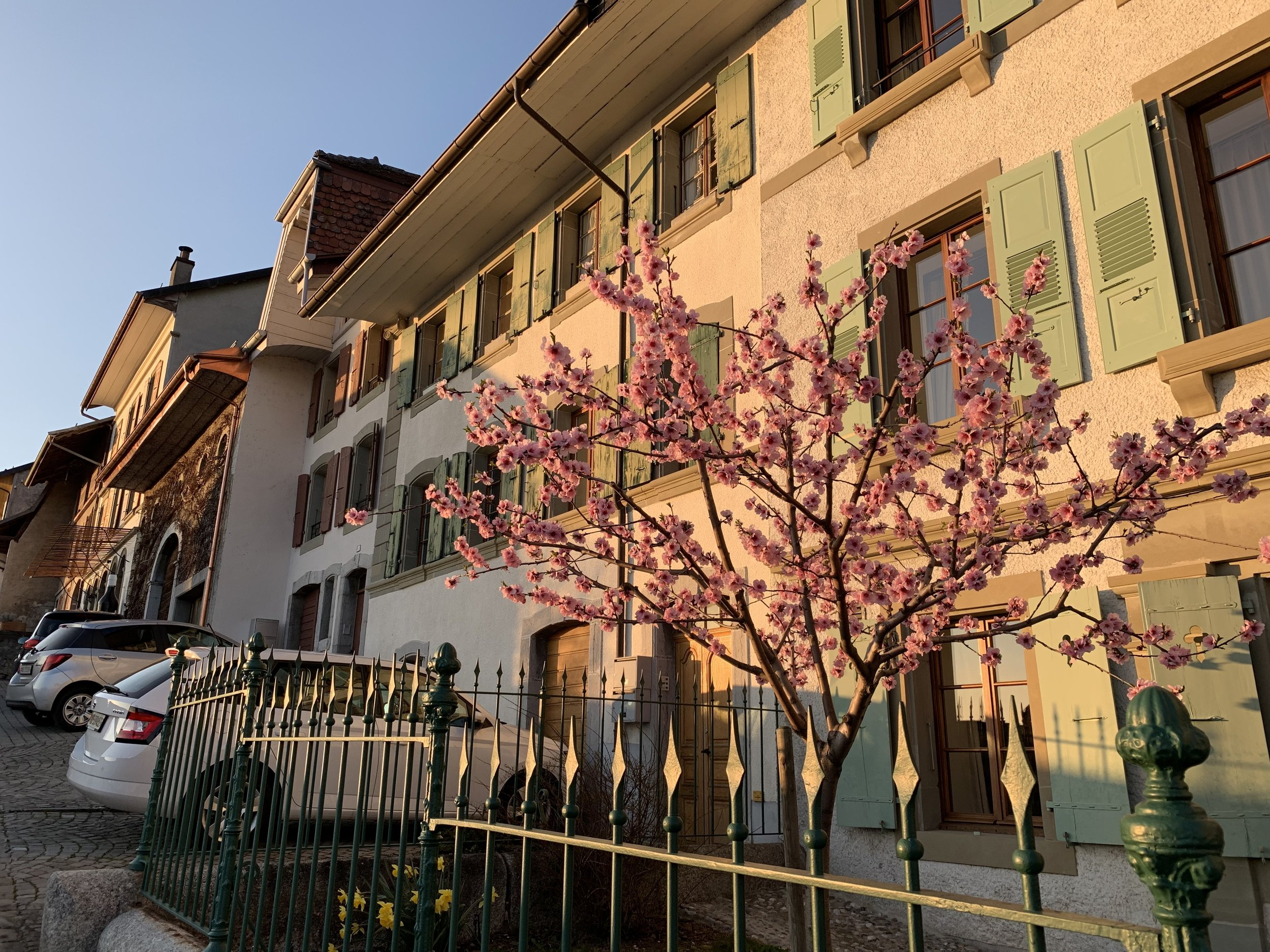 Along our walk to dinner, a house at sundown with a beautiful flowering tree. The Lavaux, Switzerland, March 2019.