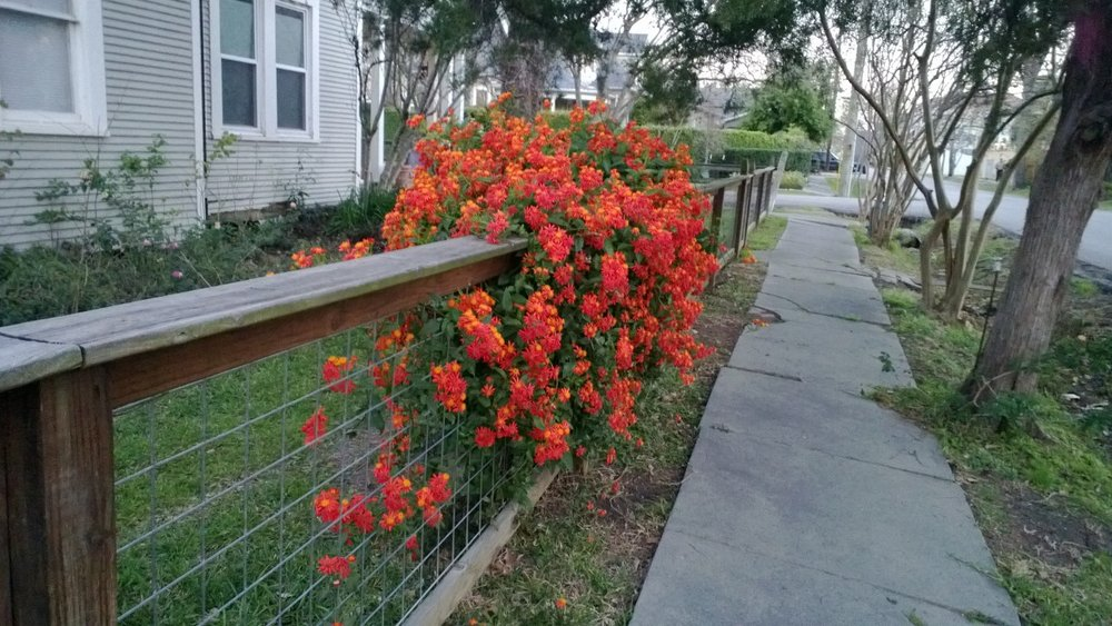 Flowers cascading over a neighbor's fence. The sight surprised me and made me smile. Houston, Texas, March 6, 2013.