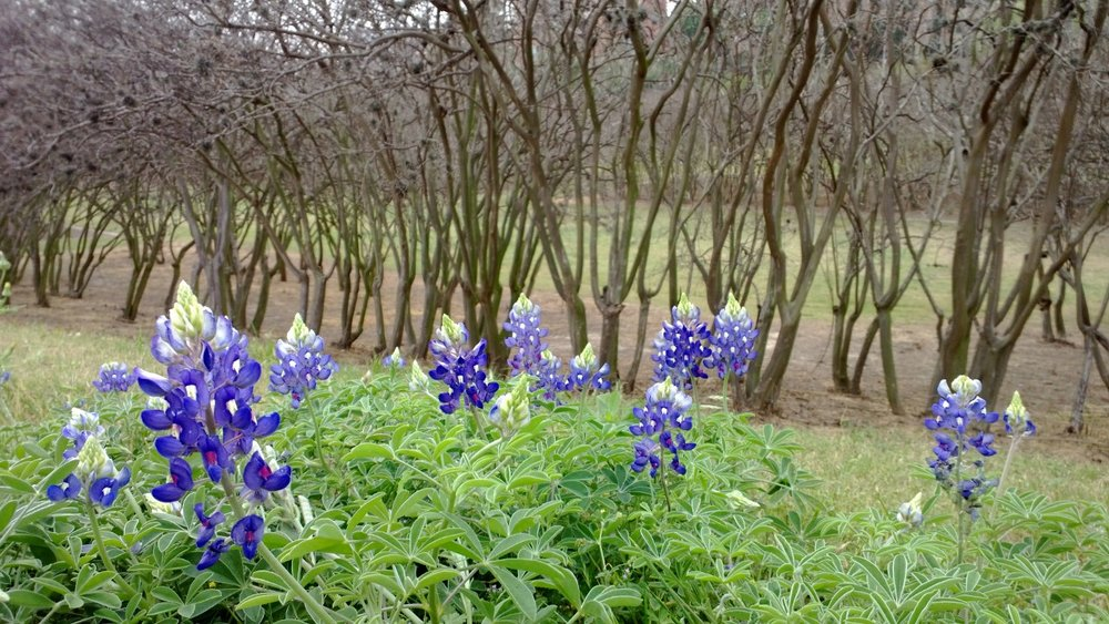 Without bluebonnets, could it count as spring in Texas? Houston, Texas. March 23, 2013.