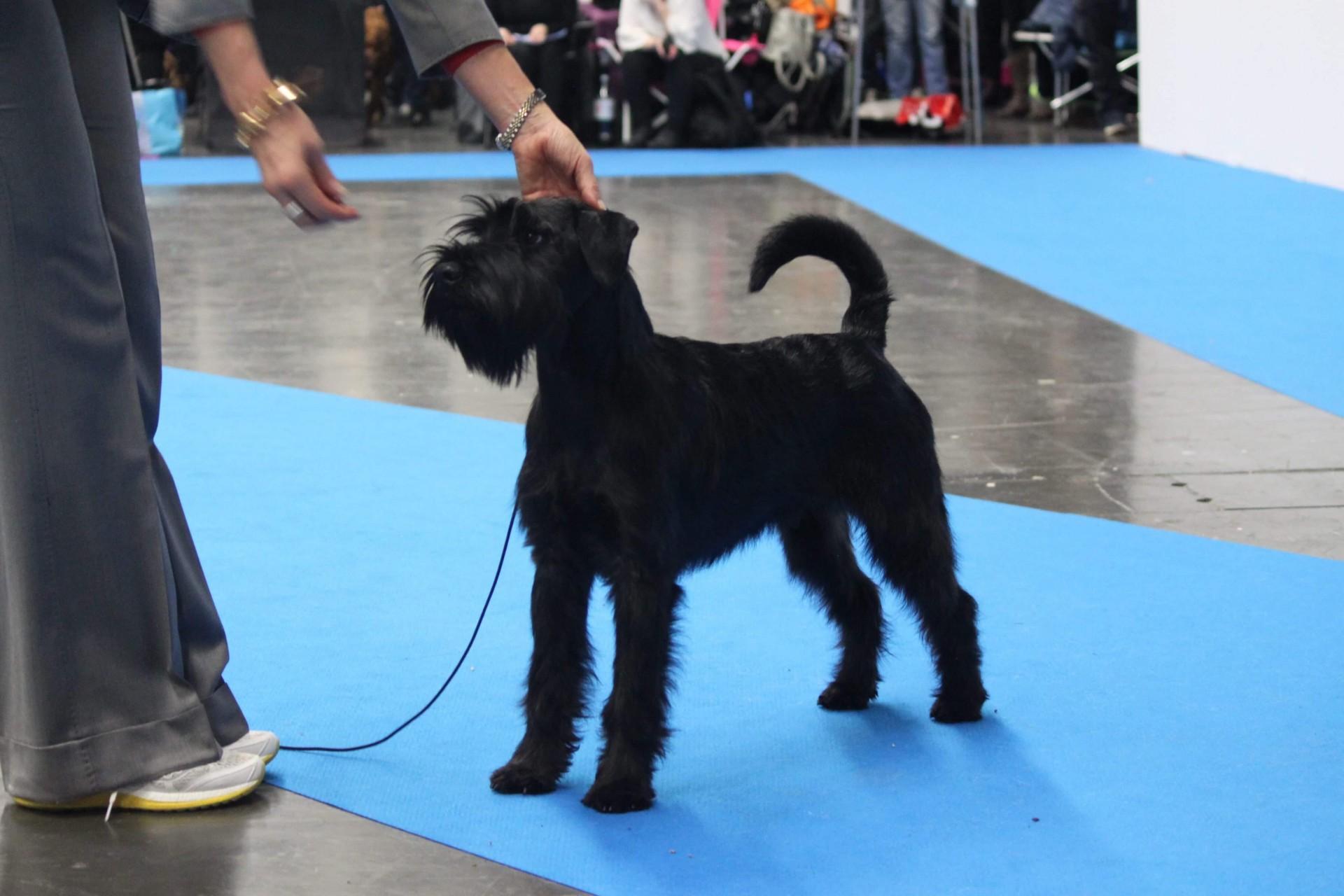 Best fo breed puppy Velvet Dandy´s Nidhögg