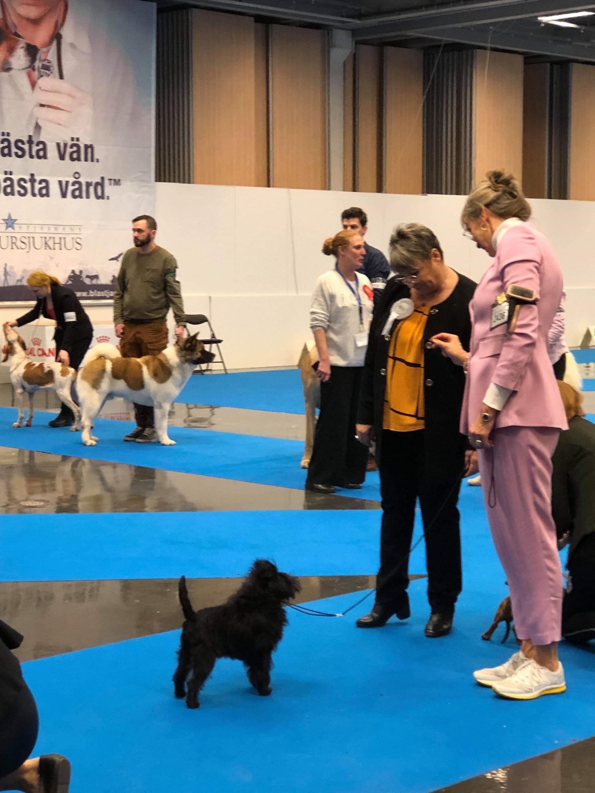 Best of breed Velvet Dandys Prospero