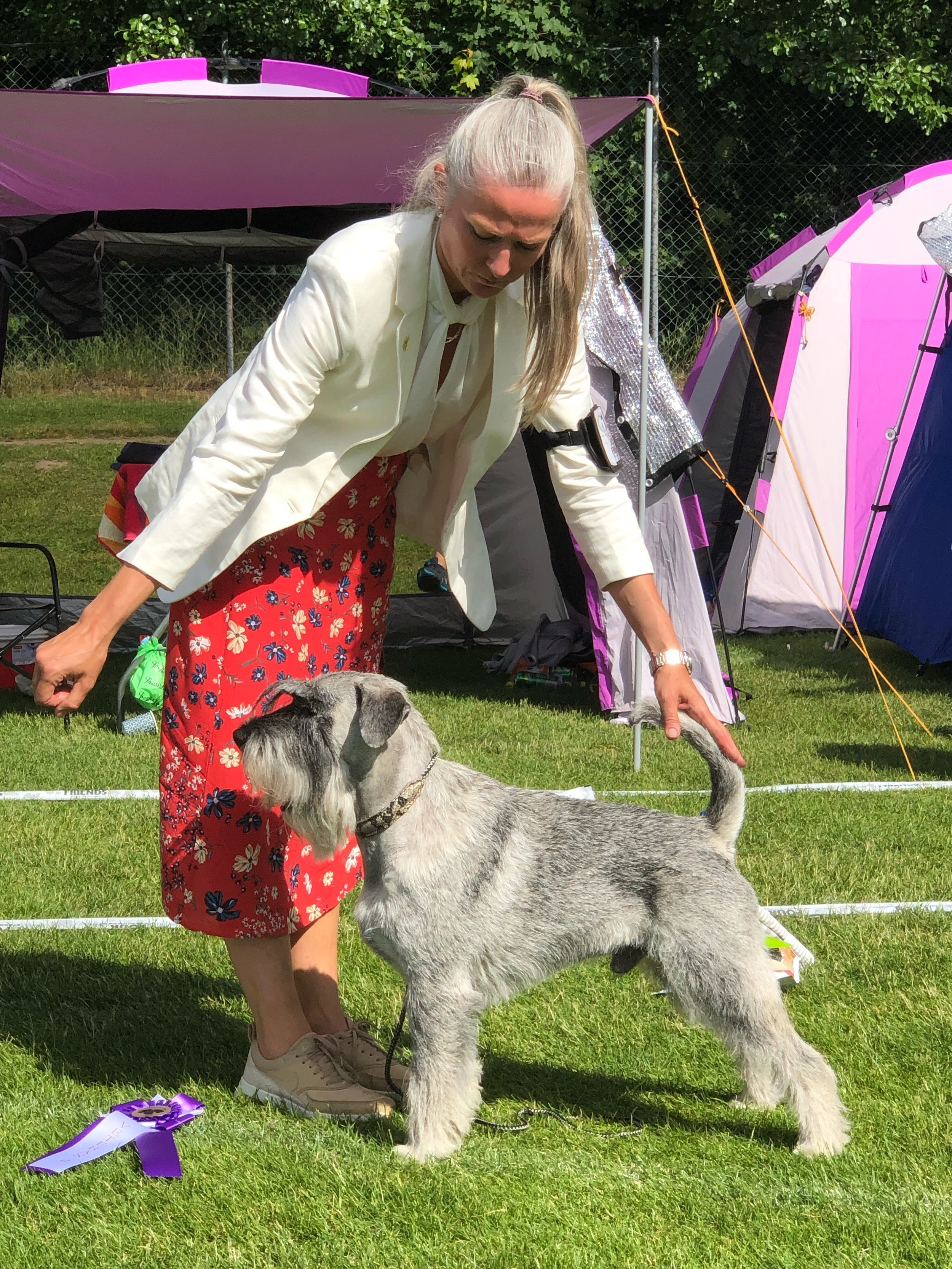 BEST IN SHOW 2 Veteran & BEST OF BREED in hard competition of 22 entered p/s schnauzers