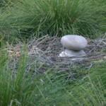 Dinosaur eggs and nest