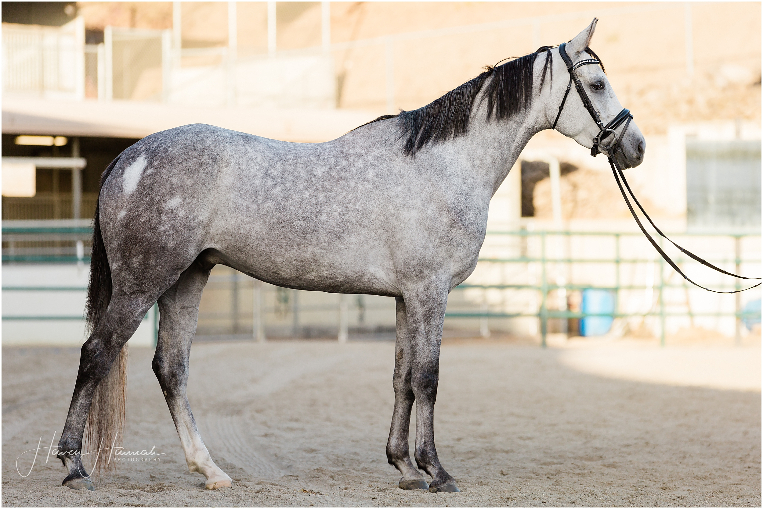 arabian-dutch-warmblood-horse