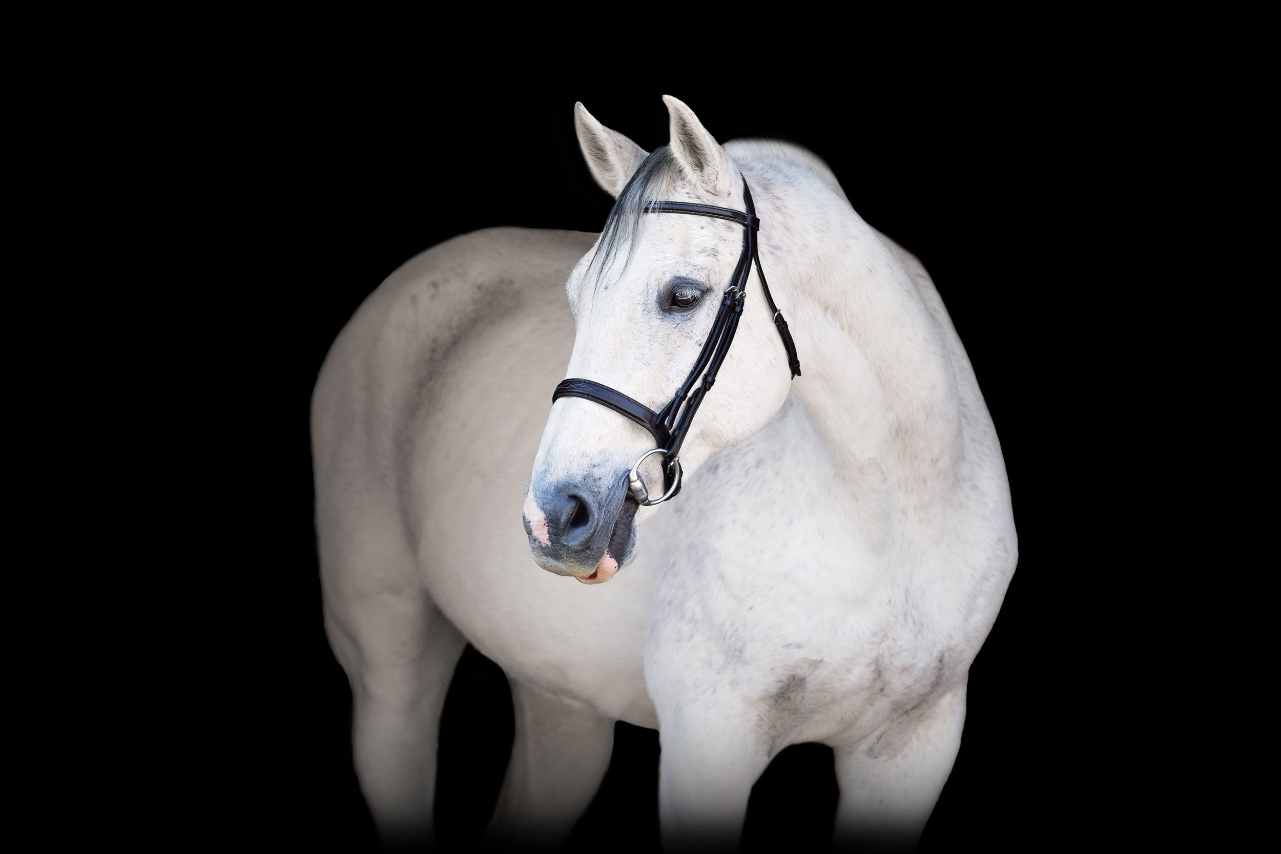 black-background-equine-portrait