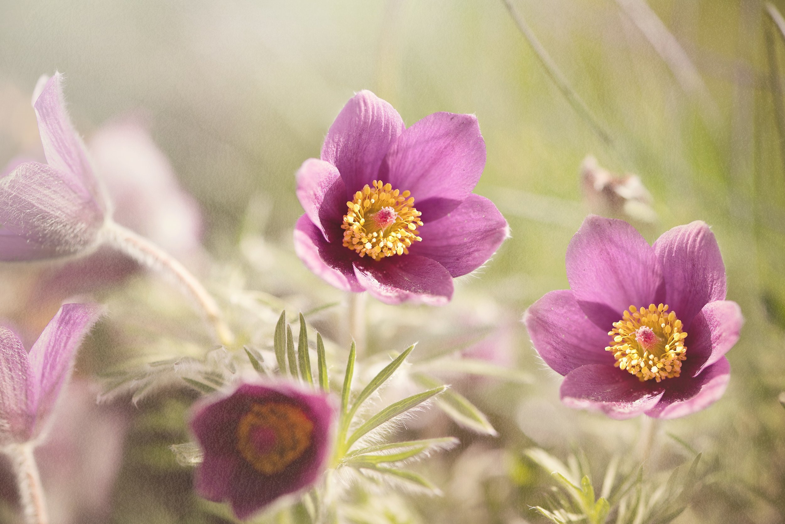 common-pasque-flower-1365647.jpg