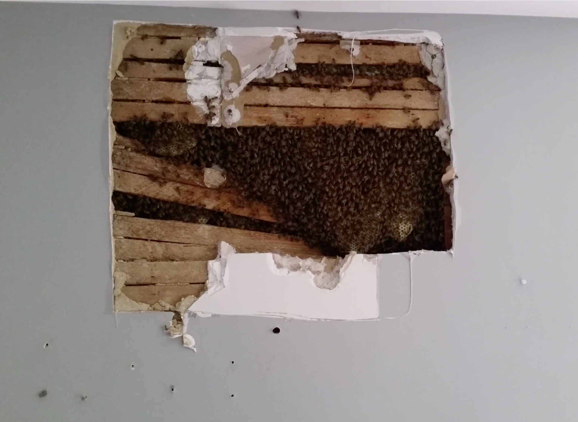 Interior drywall hive removal and relocation are an important service to the Baltimore community.