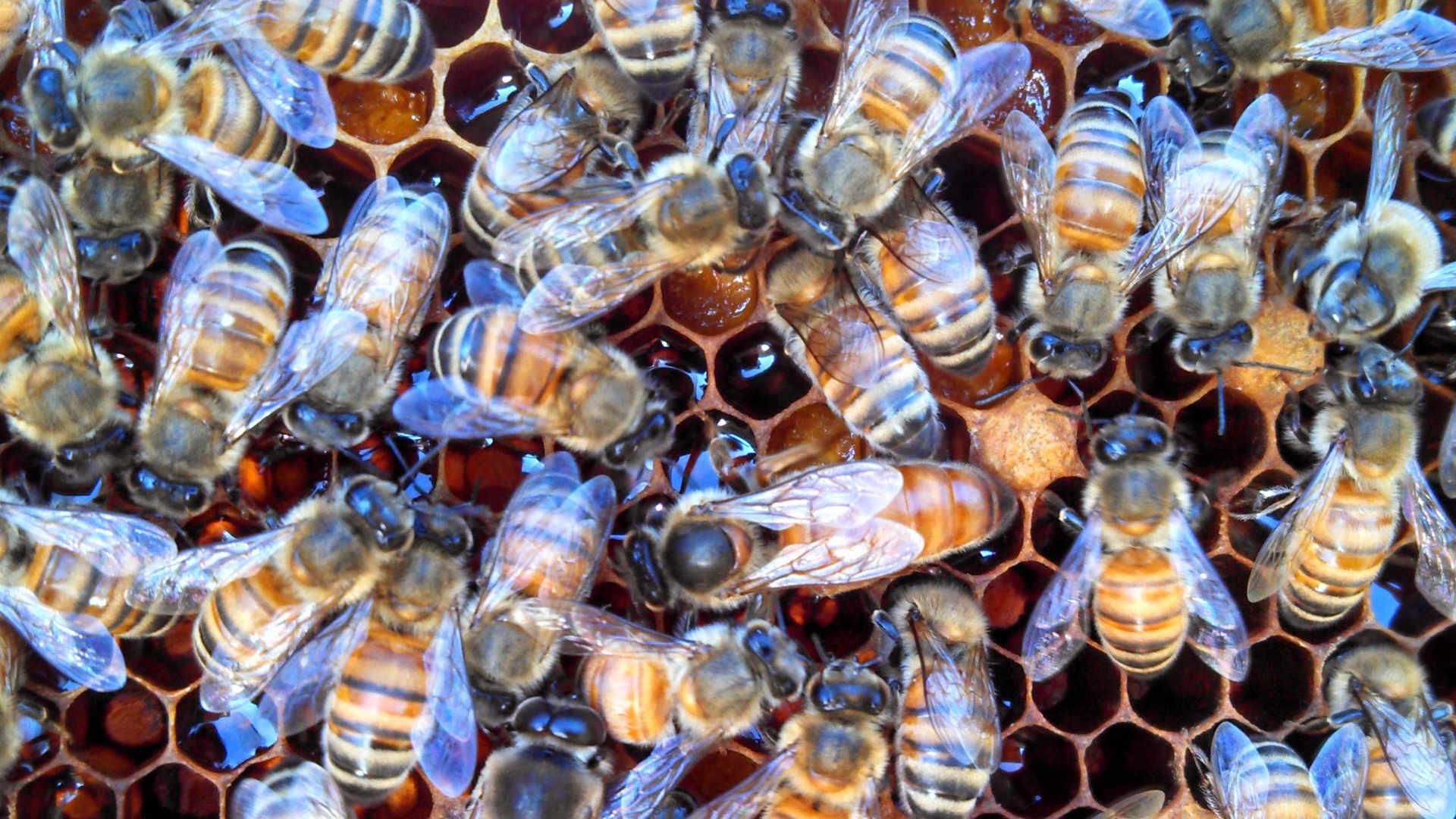 bees-dark-comb-horiz.jpg