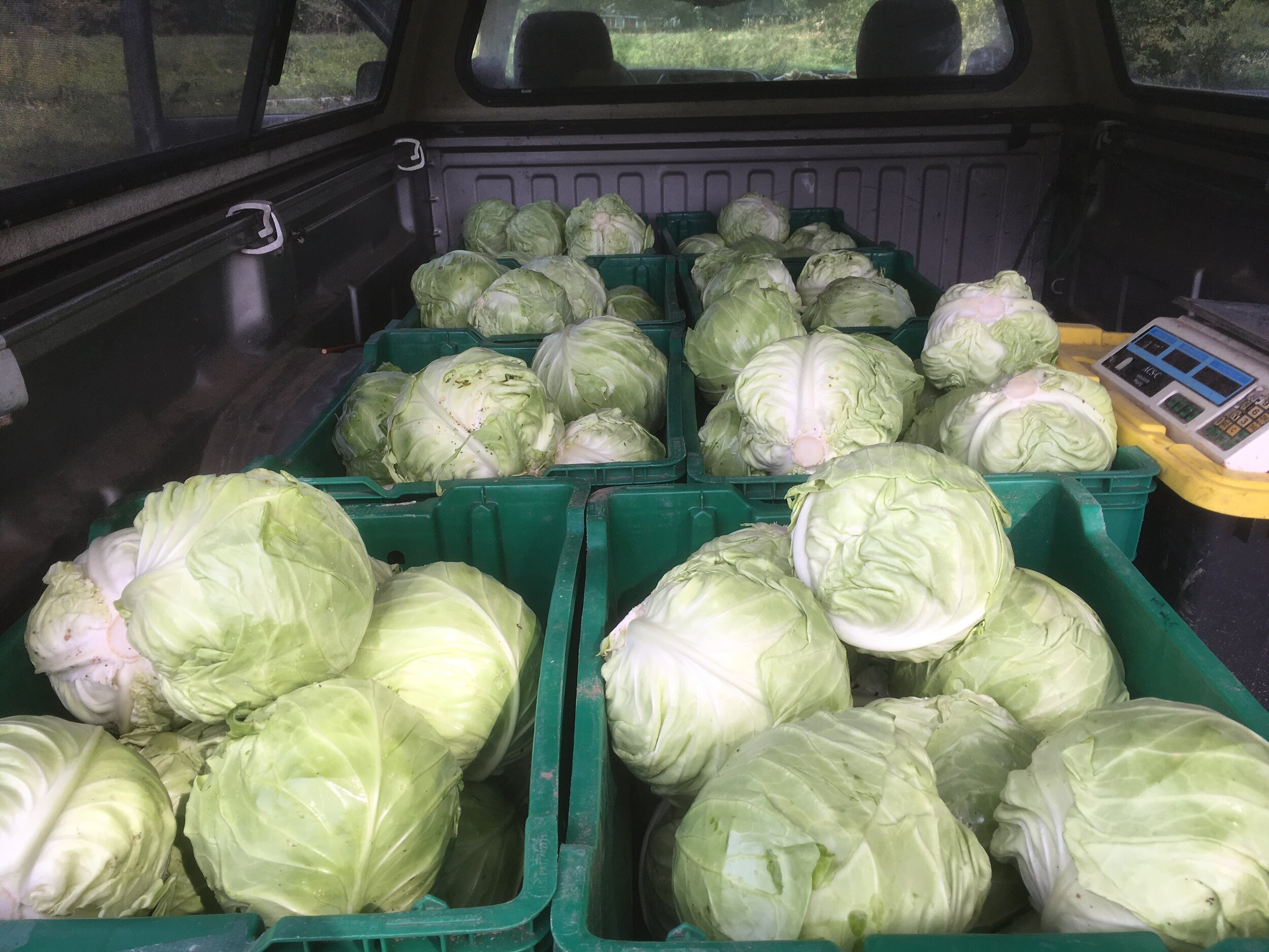 I partnered with the  Center for an Agricultural Economy  this year to provide fresh, local food for institutions throughout the state. I was excited for the opportunity and this particular 400# haul of green cabbage will be shredded for schools and hospitals in Vermont.