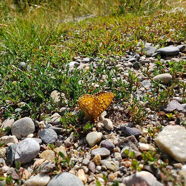 That Wyoming wind can ground all kinds of flight  #roadtrip #watchyourstep #west #strong #butterfly #windy #grounded  #wyoming