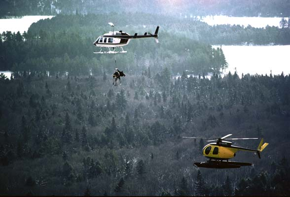 Large female Moose transported by helicopter to a nearby town