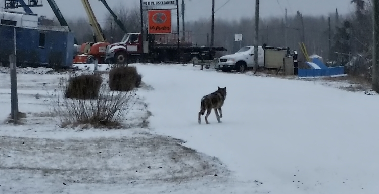 A lone wolf traveling by foot, looking for a new home near Burlington, Ontario.