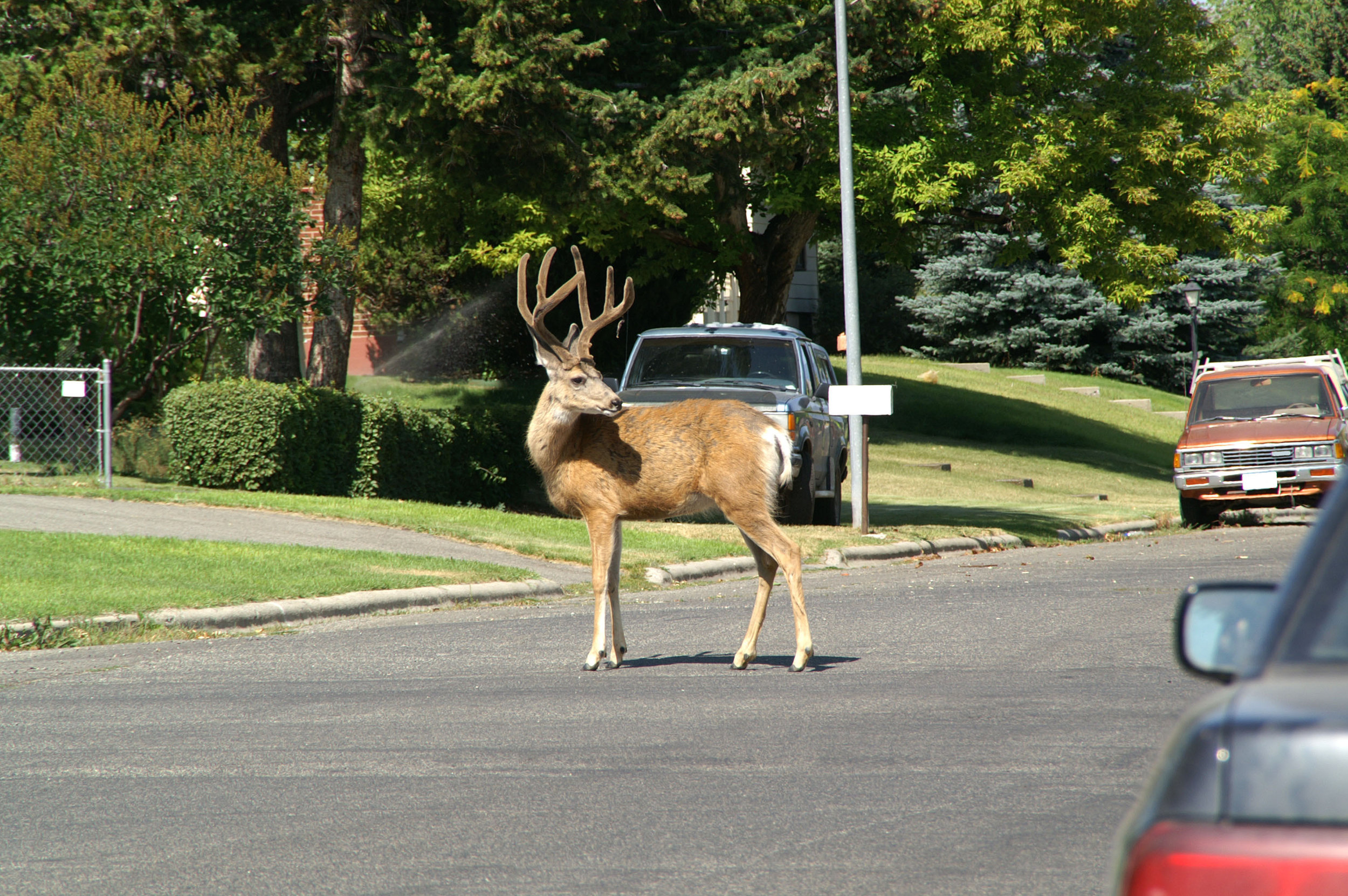 A young and educated white-tailed buck looking left before cautiously crossing the street in a suburban neighbourhood.