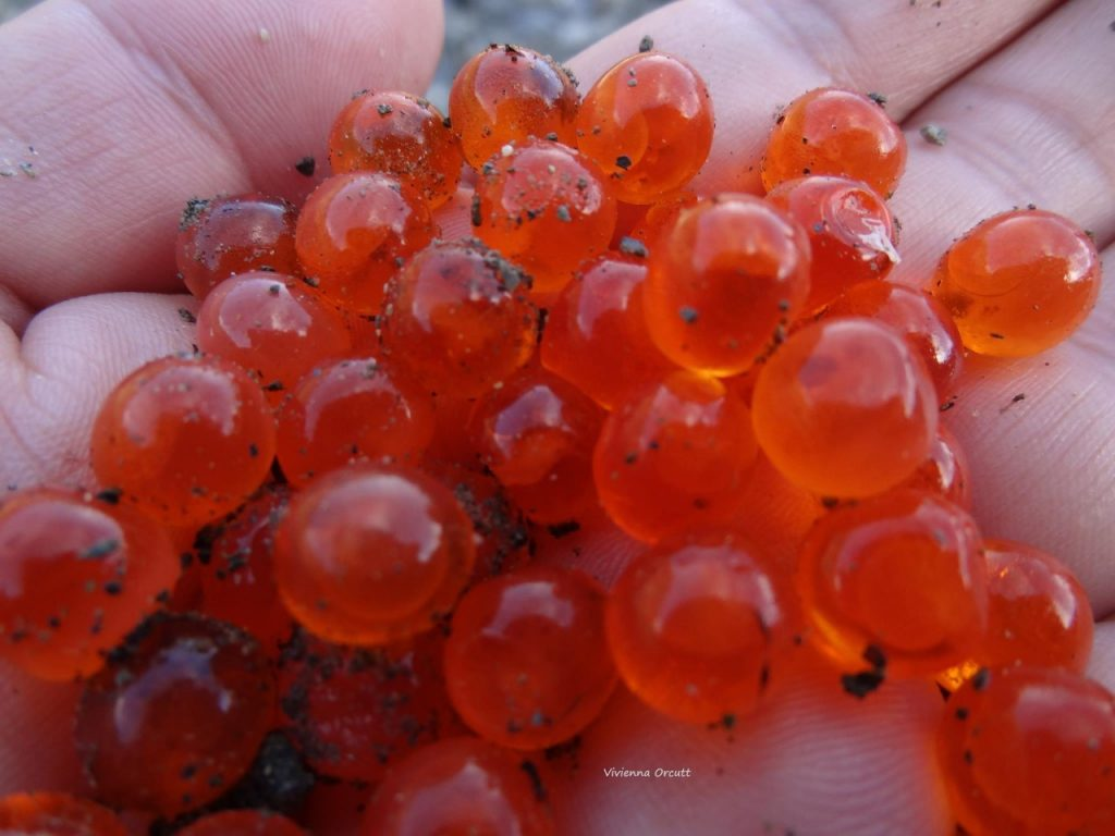 thumbnail_salmon-babies-vivienna-orcutt-1024x768.jpg